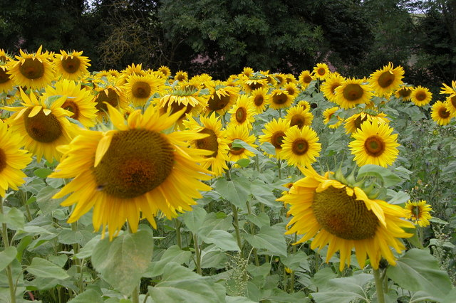 Sunflowers near Tunnel Hill, Upton upon Severn