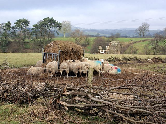 Winter feed for the sheep