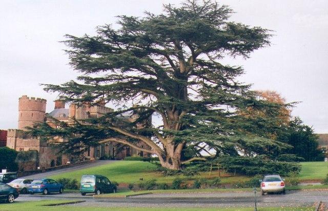 Rowton Castle Cedar