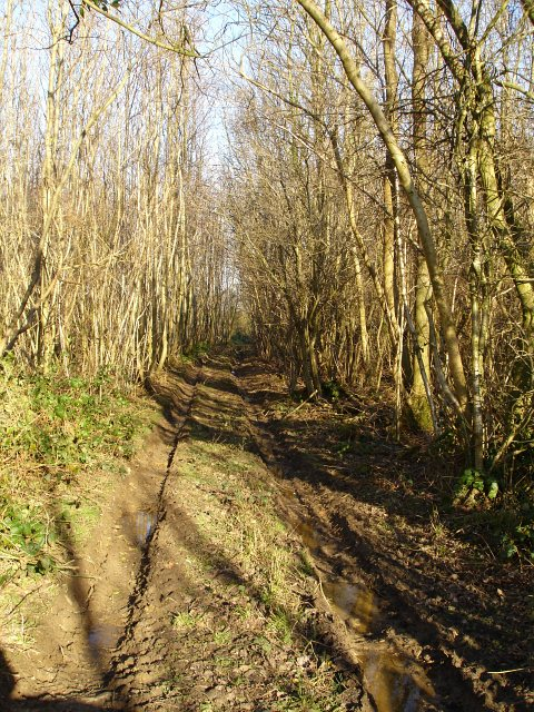 Track through chestnut coppice