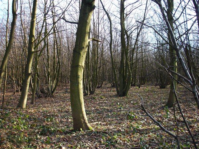 Stedehill Wood