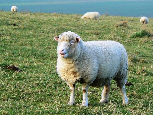 More sheep at Barbury