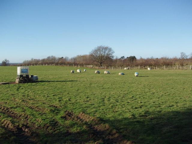 Sheep Grazing near Hunsingore