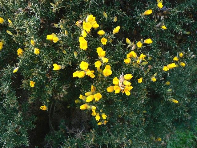 Gorse bush, Barbury