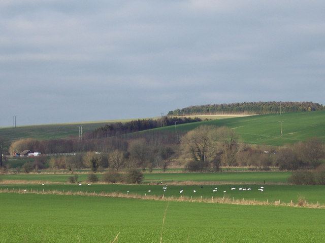 Swans resting in the Wylye Valley