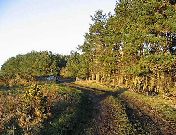 Farm track and pine trees