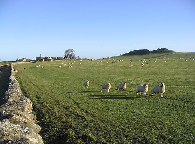 Sheep at Warenton