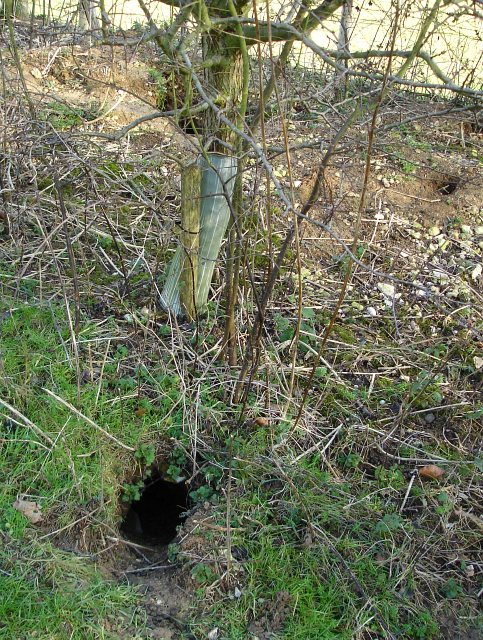 Rabbit burrows