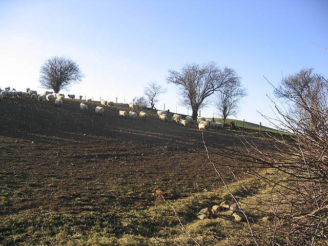 Sheep in turnip field