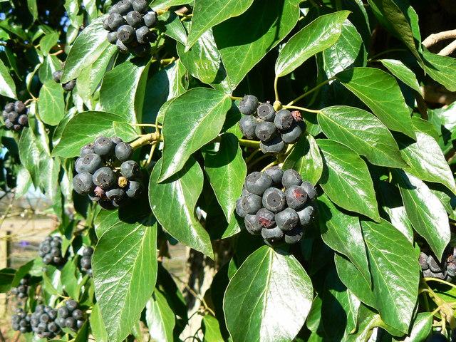 Black berries on a dead tree near Marr Green, Wiltshire