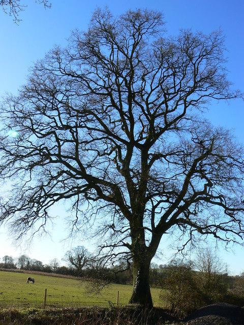 Tree on farm track near Marr Green, Wiltshire