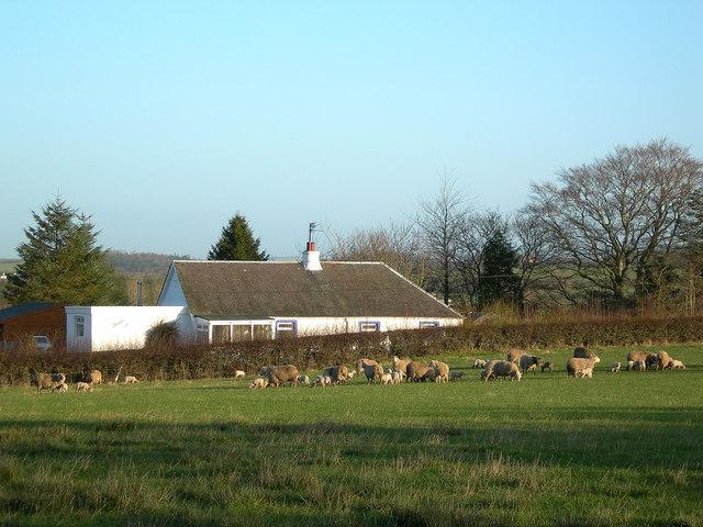 Sheep and Lambs at Carcluie