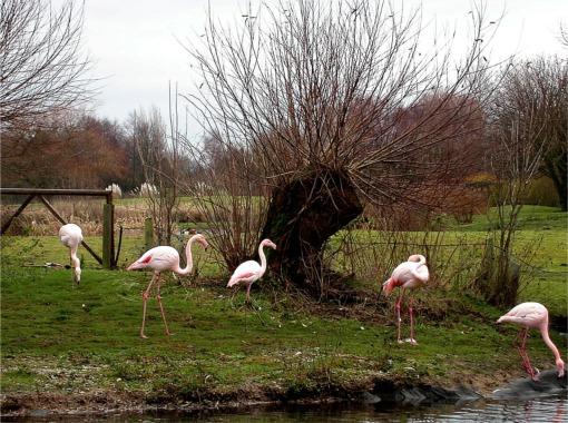 Flamingos at Martin Mere