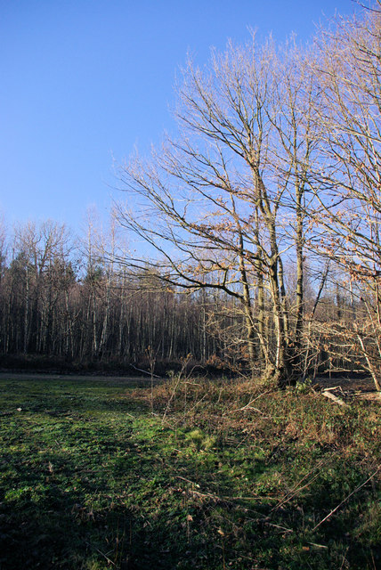 A Clearing in Mereworth Woods