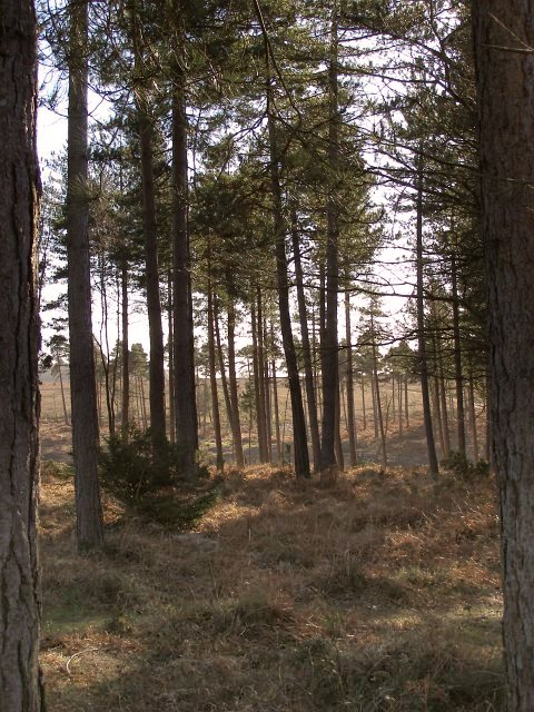 Pines at the eastern end of Milkham Inclosure, New Forest