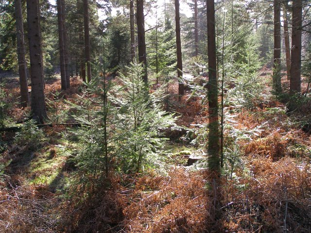 Young firs in Milkham Inclosure, New Forest