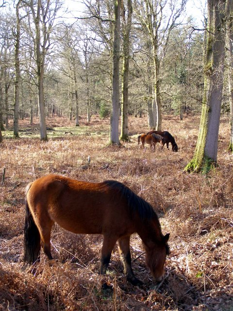 Ponies grazing in Milkham Inclosure, New Forest
