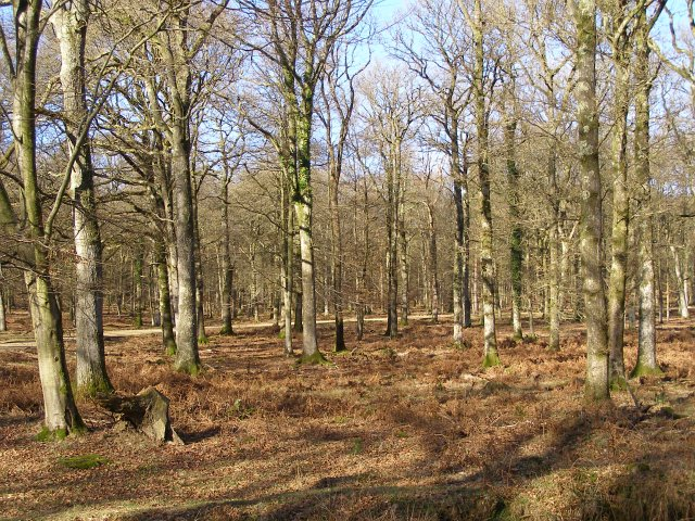 Oaks in Milkham Inclosure, New Forest