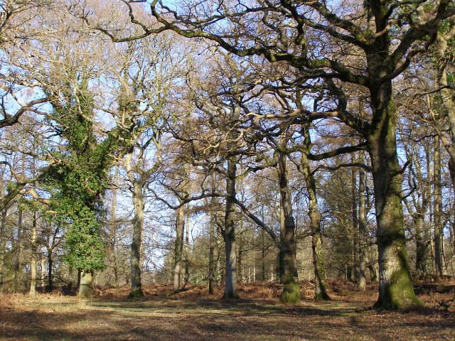 Oaks within Castle Piece, Roe Inclosure, New Forest