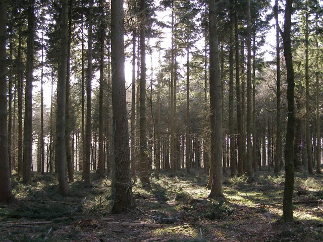 Fir plantation in Roe Inclosure, New Forest