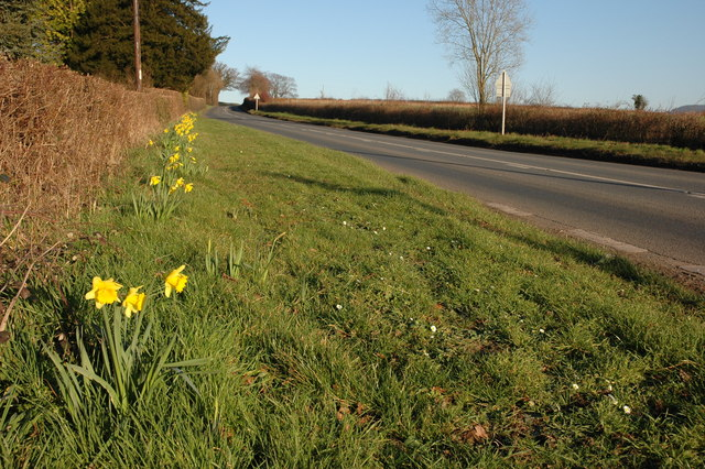 Early daffodils beside the A4112 at Sallys