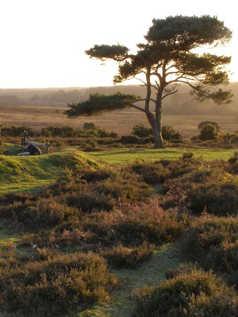 Photogenic pine at Bratley View, New Forest