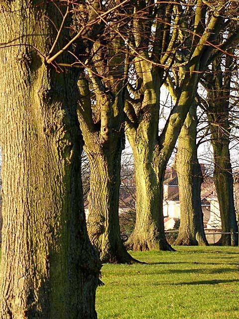 Trees lining Kellaway Avenue