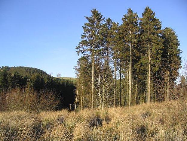 Pine trees and scrub