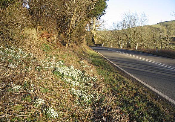 Snowdrops by the A7 at Branxholme