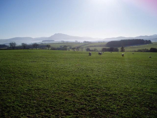 Sheep grazing near Cythynog Isaf
