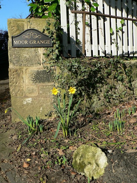 Very early daffodils, Scotland, Yorkshire