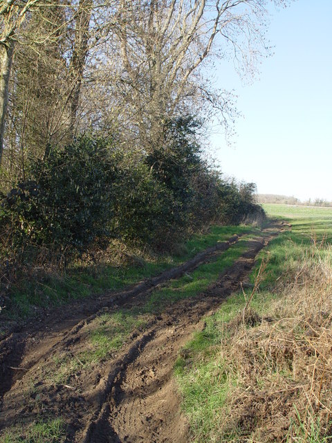 Holly bushes at edge of Bratch Coppice