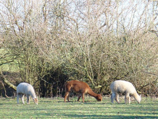 Llamas by Chestnut Farm