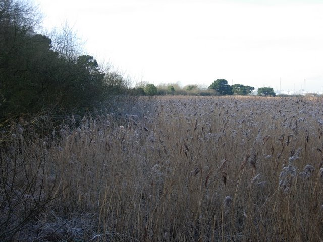 Reedbed in winter