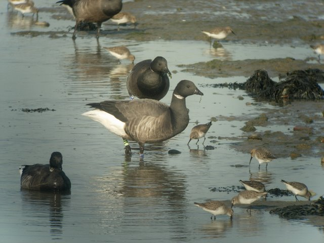 Ringed Brent Geese