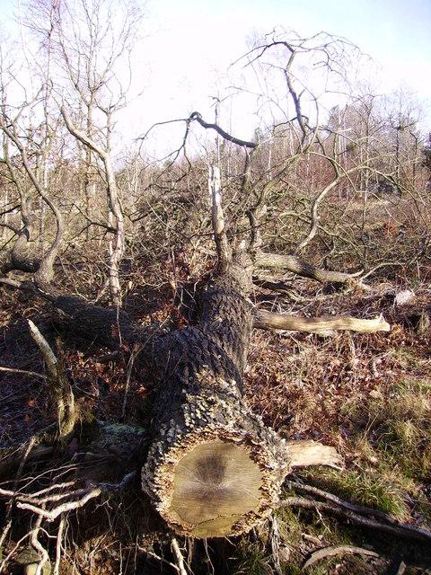 Felled Tree, Beetham Fell