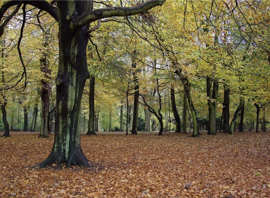 Autumn beech trees, Sefton Park