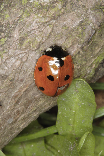 Coccinella septempunctata, Village Green, Cottenham, Cambridgeshire