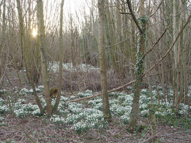 Snowdrops in Rendezvous Plantation