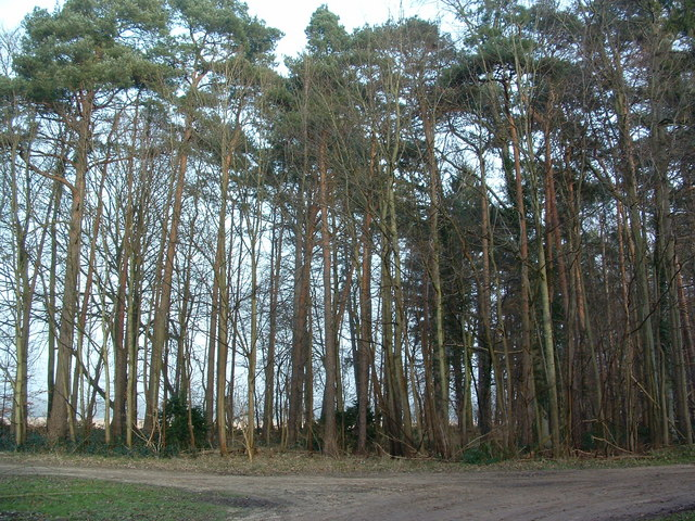 Belt of trees planted 1909
