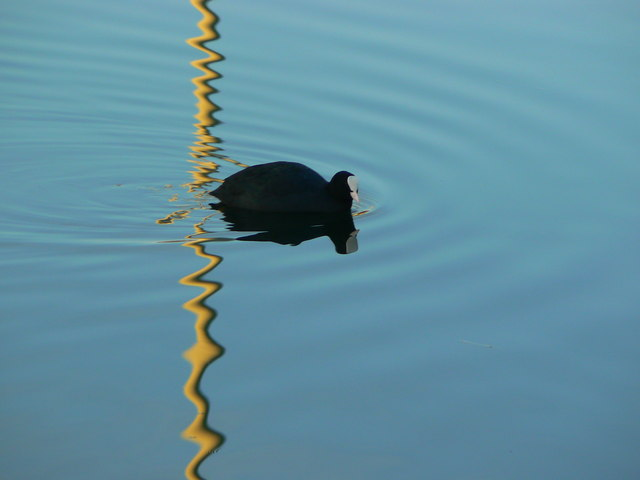 Coot on flood storage lagoon, Great Western Hospital, Swindon