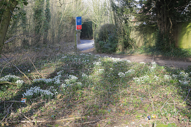Snowdrops where Hinton Lane joins the B3046