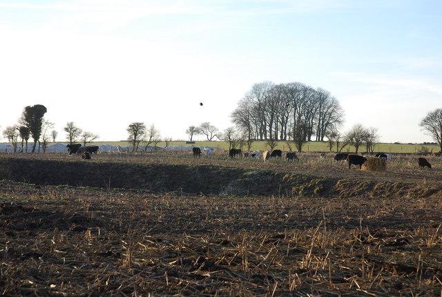 Cows around Wermere