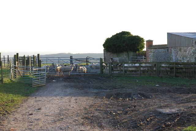 Sheep at Bigley Barn