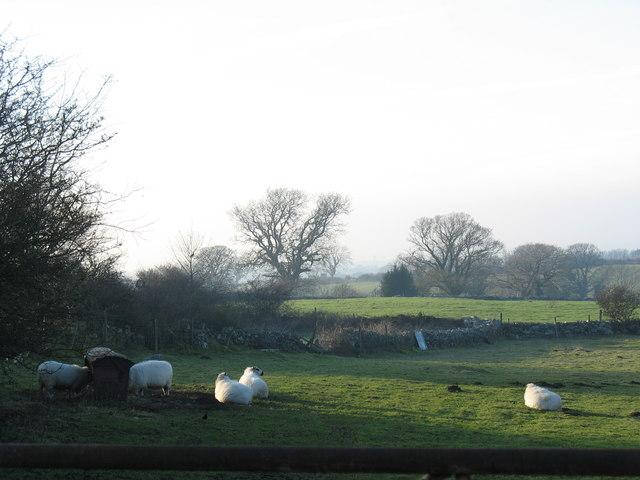 Sheep near Cae Malwen