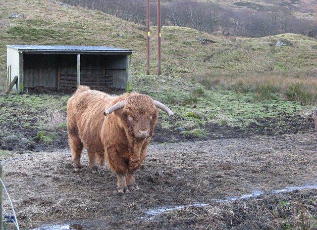 Highland bull, Suie Lodge