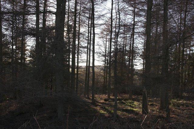 Larch Plantation above Crag Bank Wood