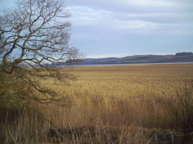 Reed beds on the North Bank of the Tay