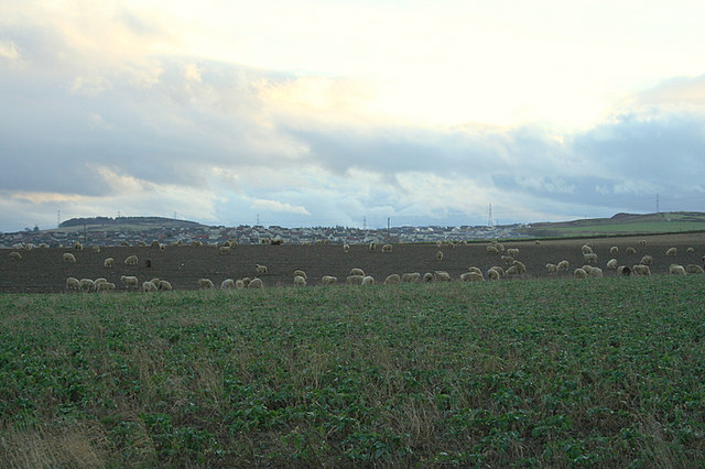 Grazing sheep to the north of Inverurie.