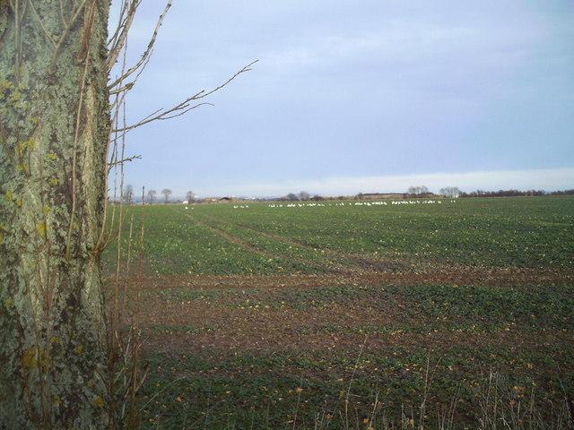 Wintering Geese Feeding